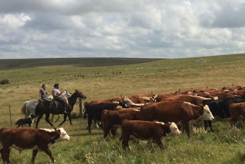 cattle drive Uruguay Estancia