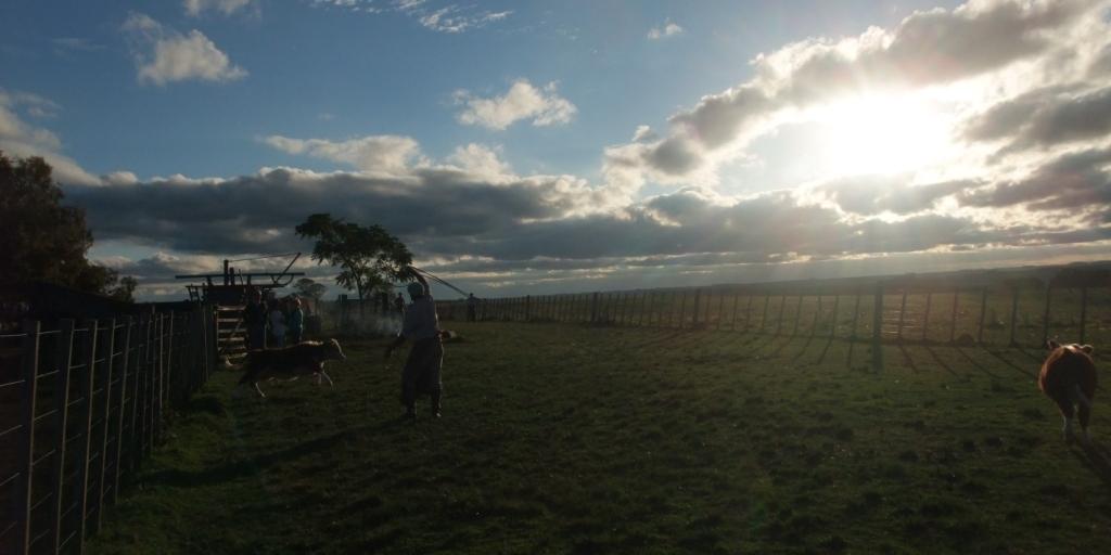 ranch workers branding cattle uruguay
