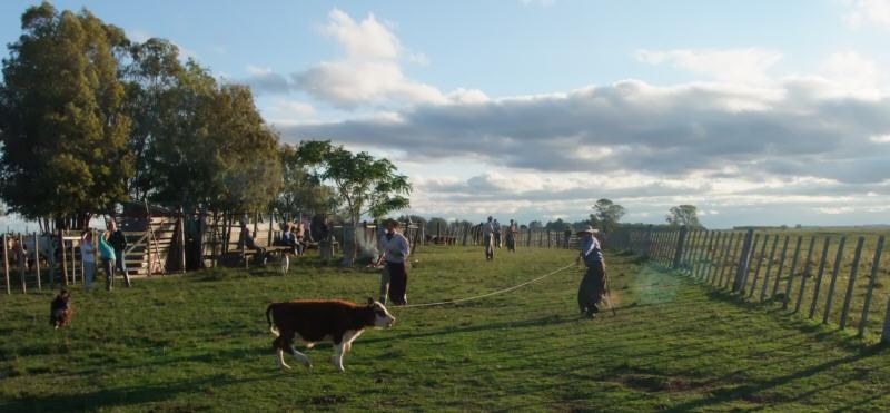 Uruguay cattle branding